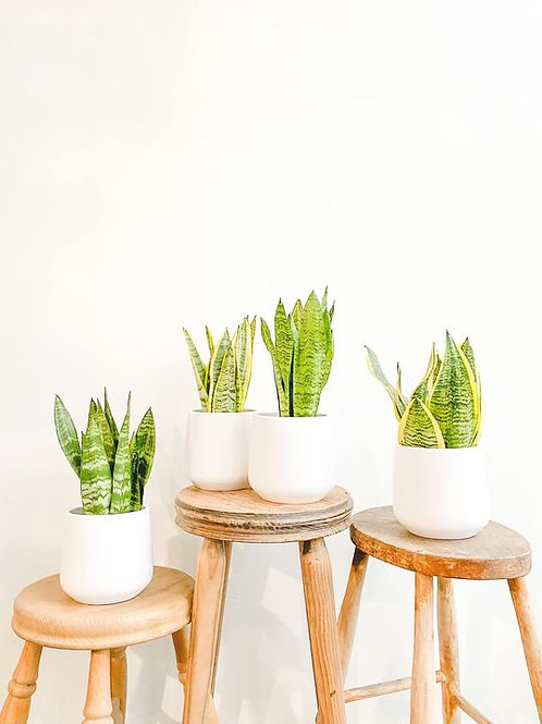 Sansevieria Bundle - Small