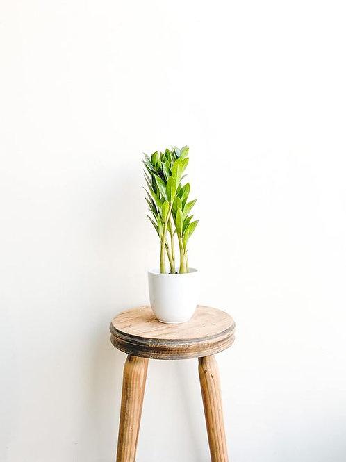 Zion, Zamioculcas Zamiifolia Zamicro