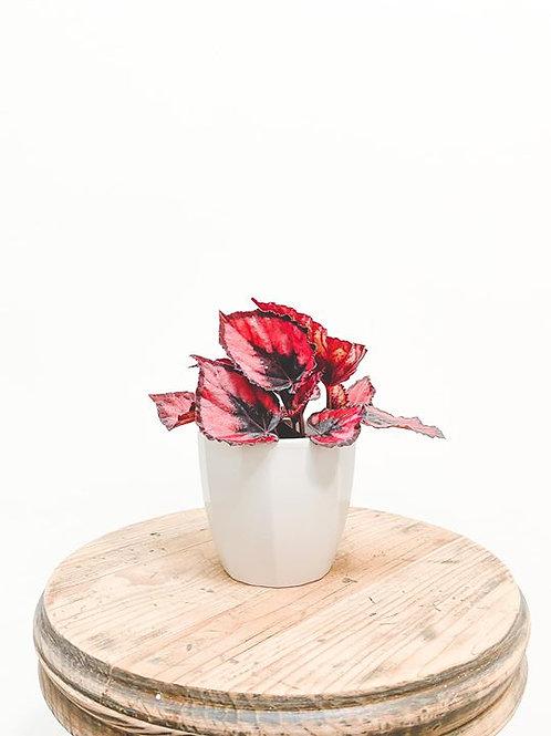 Edna, Begonia Magic Colour Etna - Mini