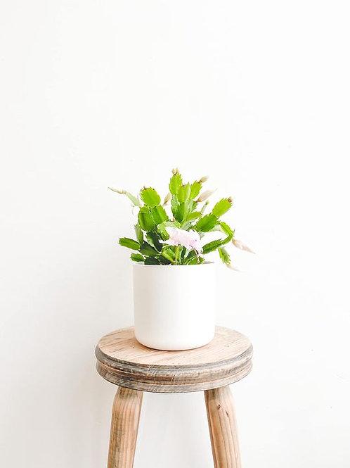 Chris, Christmas Cactus - Small