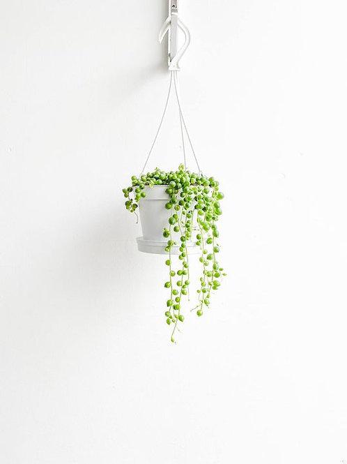 Percival, String of Pearls - Medium