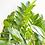 Thumbnail: Zam, Zamioculcas Zamiifolia