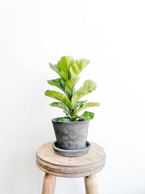 Figaro, Fiddle Leaf Fig - Small