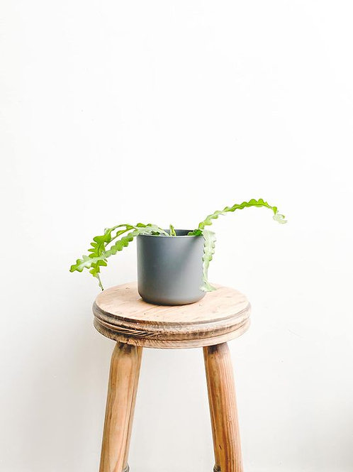 Perfectly Imperfect, Fishbone Cactus - Small