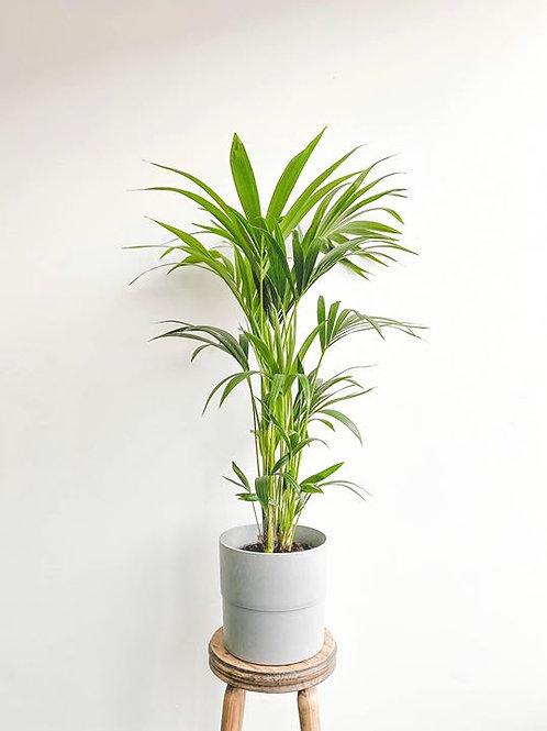 Kenny, Kentia Palm - Large