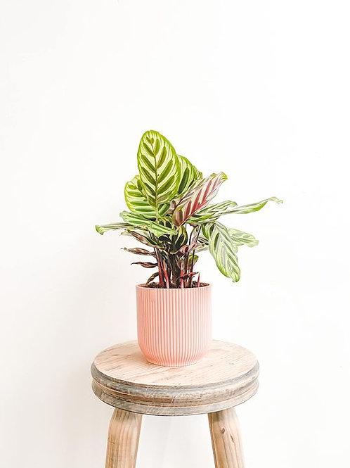 Mikayla, Calathea Makoyana - Small