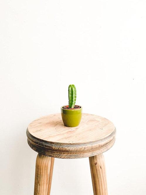 Perfectly Imperfect, Echinocereus Morricalii Cactus