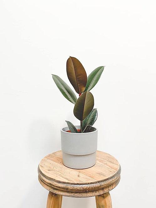 Felix, Ficus Elastica Abidjan - Small