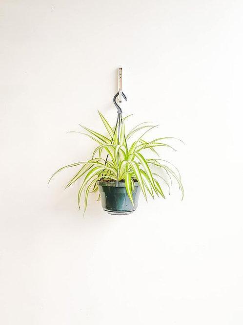 Aragog, Spider Plant - Medium
