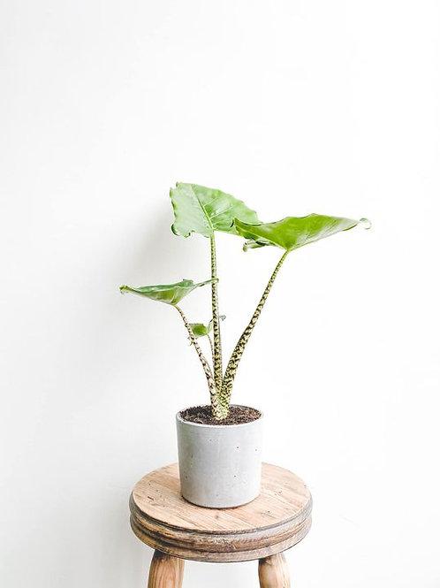 Zara, Alocasia 'Little Zebrina' - Medium
