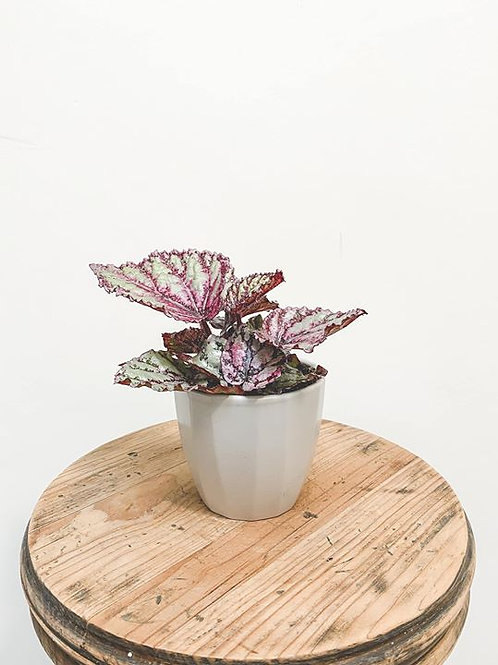 Felicity, Begonia Magic Colour Fireworks - Mini