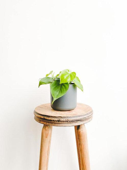 Scott, Philodendron Scandens