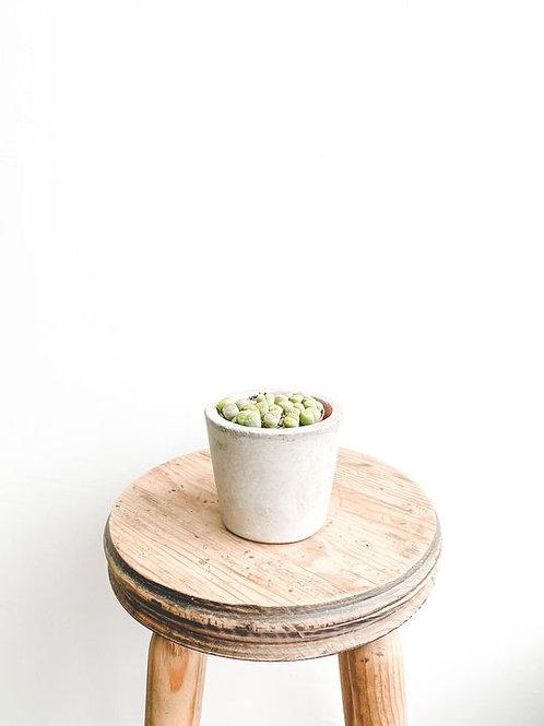 Rocky, Living Stone Plant - Small
