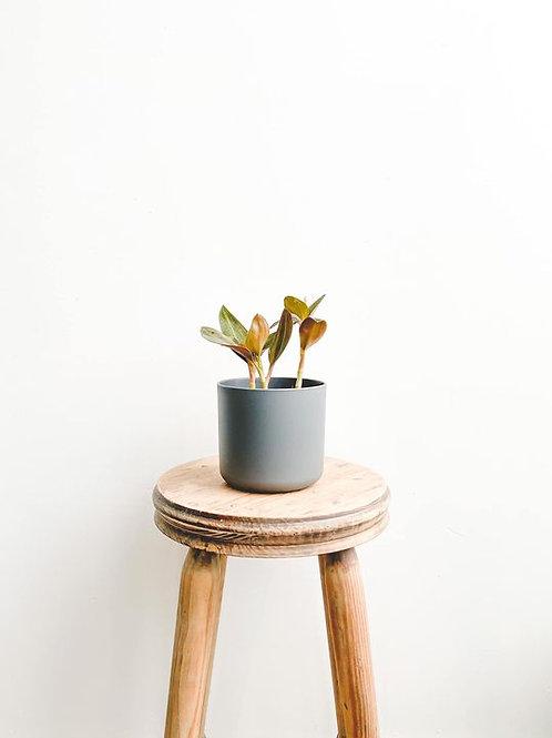 Jade, Ludisia Discolour 'Jewel Orchid' - Small
