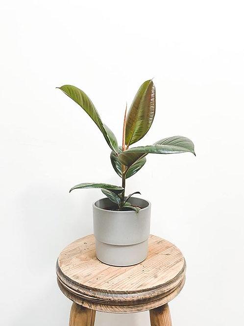 Freddie, Ficus Elastica Robusta - Small
