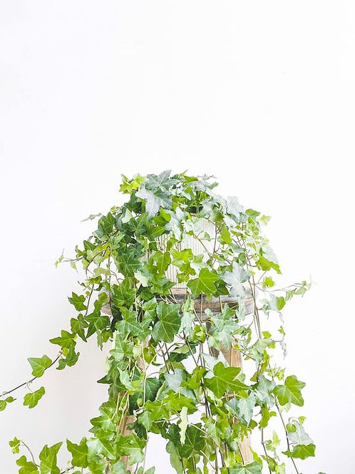 Elsie, English Ivy - Large