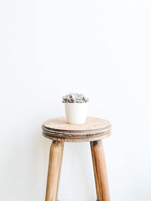 Moony, Moonstone Succulent - Small