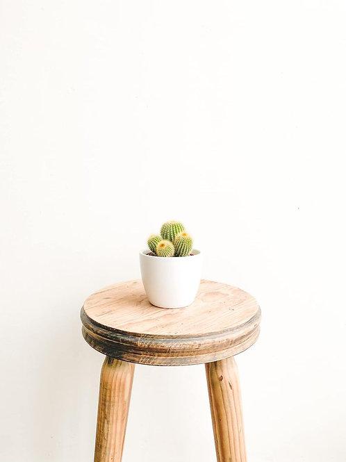 Lenny, Notocactus Leninghausii Cactus
