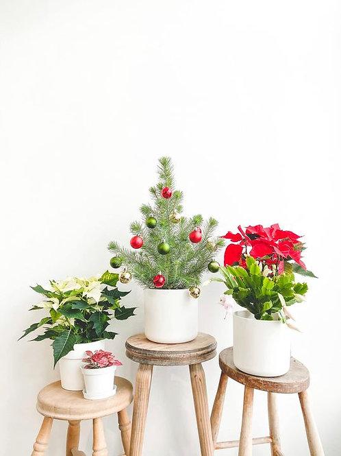 Christmas Plant Bundle