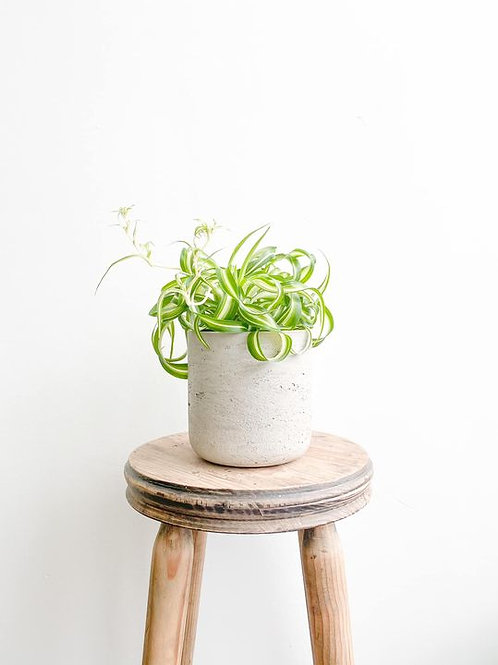 Shelob, Curly Spider Plant - Small