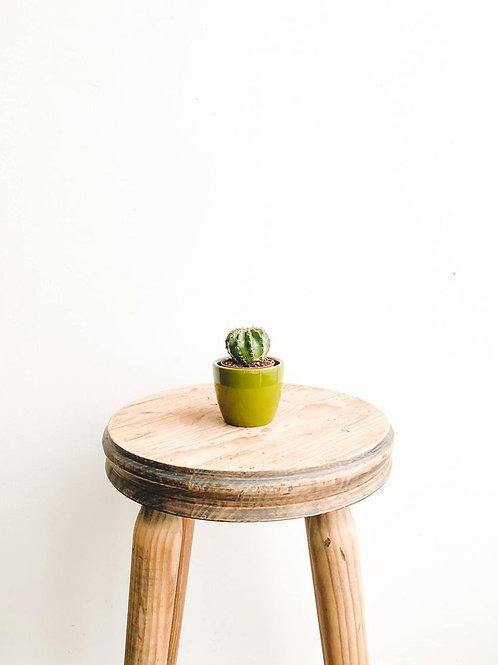 Monroe, Echinopsis Multiplex Cactus