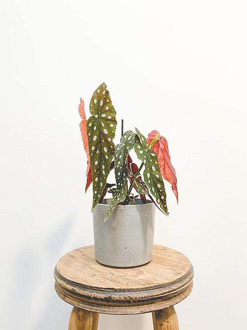 Billie, Begonia Maculata Polka Dot - Small