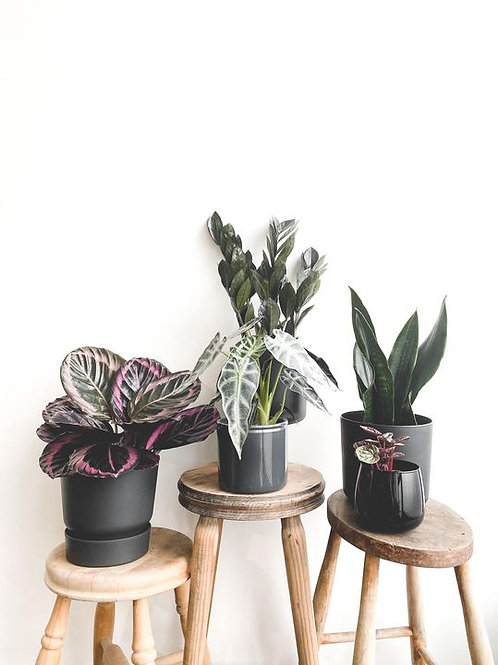 Black Friday Plant Bundle