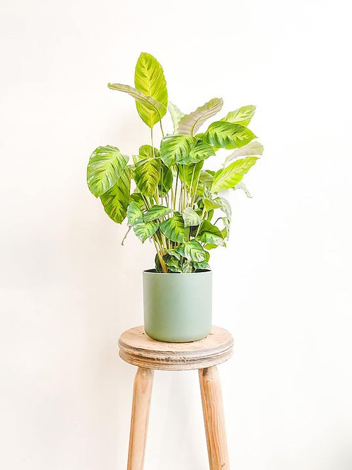 Meg, Calathea Maui Queen - Medium