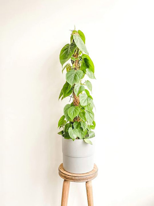 Scott, Philodendron Scandens Climber