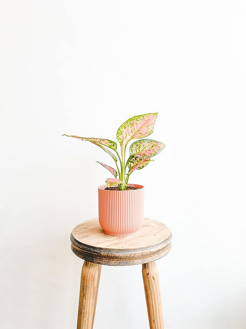 Stacey, Aglaonema Spotted Star