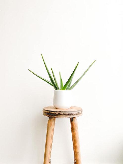 Viv, Aloe Vera - Medium