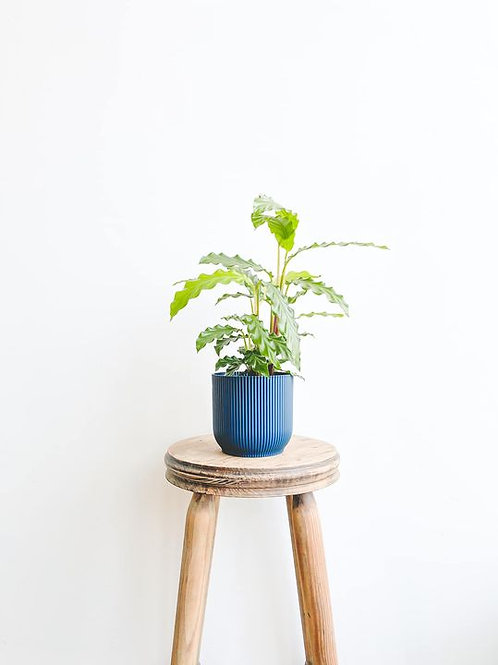 Perfectly Imperfect, Calathea Blue Grass - Small