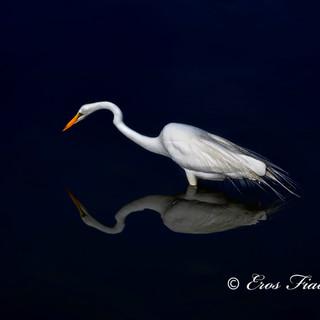 Narcissistic Egret