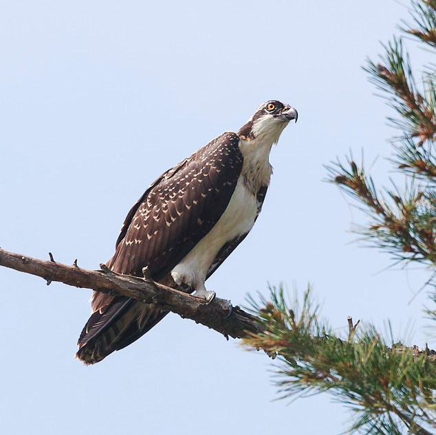 Osprey on a Perch