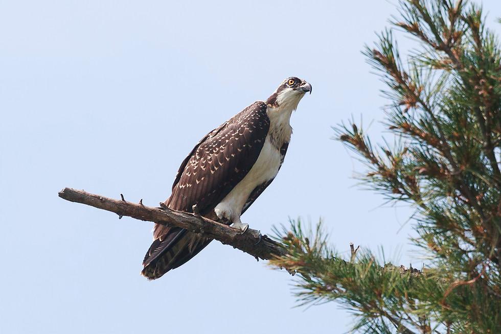 Osprey on a Perch