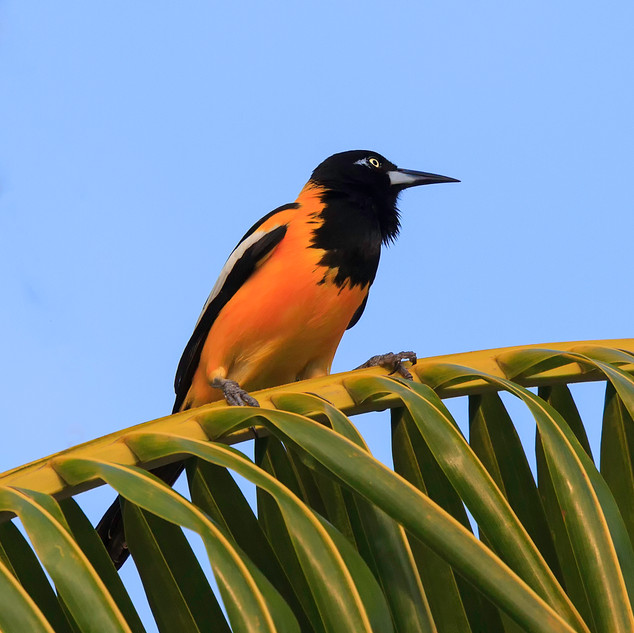 Troupial National Bird of Curacao