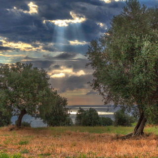 Olive Grove above the Adriatic