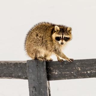 Curious Racoon on a Fence