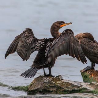 Cormorant Drying Off