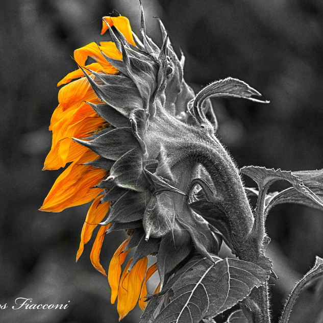 Sunflower in Profile