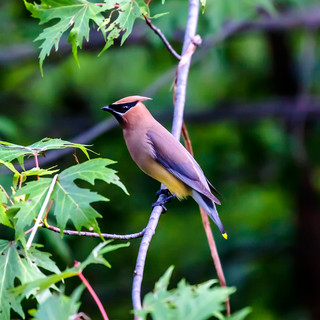 Cedar Waxwing in the Forest