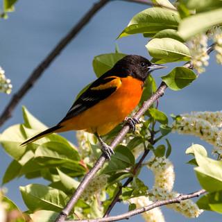 Baltimore Oriole amid Blossoms