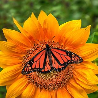 Sunflower Monarch
