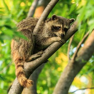 Tree Hugging Racoon