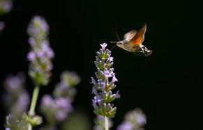 2019RFNHM_PDI_005 - Hummingbird Hawk Moth by Nigel Snell. Commended