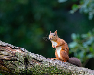 'Red Squirrel' by Nigel Snell