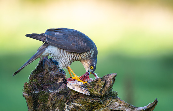 2019RFNHM_PRINT_087 - Sparrowhawk by Nigel Snell.  Highly Commended