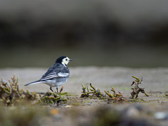 'Pied Wagtail' by Nigel Snell