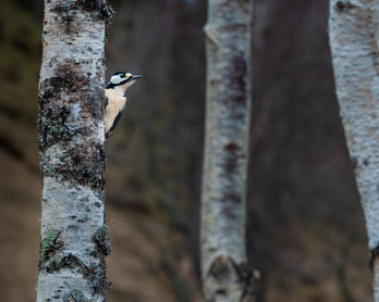 2019RFNHM_PRINT_054 - Great Spotted Woodpecker by Nigel Snell.  Highly Commended