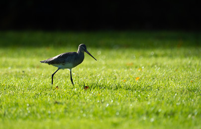 2019RFNHM_PDI_028 - Black Tailed Godwit by Nigel Snell.